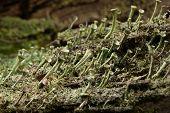 stock photo of lichenes  - Macro detail of lichen Cladonia colony on bark - JPG