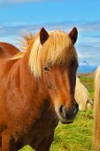 pic of fjord  - Portrait of bay horse with  light mane - JPG