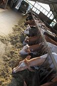 picture of dairy barn  - cows lined up on the farm in the barn eating - JPG