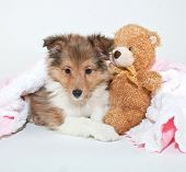 stock photo of sheltie  - Sweet little Sheltie puppy laying in a pink blanket with a teddy bear on a white background - JPG