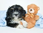 picture of laying-in-bed  - Little black and white Havanese puppy laying in a blue blanket with a teddy bear all ready for bed on a white background - JPG
