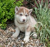 image of puppy eyes  - Beautiful red Husky puppy with blue eyes sitting in a flower bed - JPG