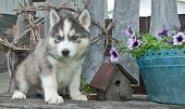 picture of puppy eyes  - Beautiful blue eyed Husky puppy sitting on a bench next to a bird house and flowers - JPG