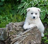 pic of little puppy  - Sweet little white Huskimo puppy laying on a stump outdoors - JPG