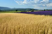 image of plateau  - Stunning landscape with wheat and lavender fields - JPG
