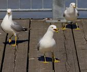 image of angry bird  - Three gulls triangle - JPG