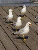picture of reaction  - Four gulls different reaction on the news - JPG