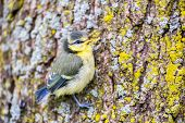 stock photo of tit  - Young colorful blue tit hanging at oak tree trunk - JPG