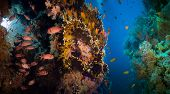 stock photo of coral reefs  - Tropical Anthias fish with net fire corals and shark on Red Sea reef underwater - JPG