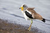 foto of crown  - White crowned lapwing forage for insects along the shore of a lake - JPG