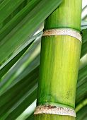 foto of bamboo forest  - fresh green bamboo - JPG