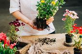 Gardener Doing Gardening Work At A Table Rustic. Working In The Garden, Close Up Of The Hands Of A W poster