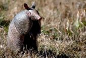picture of armadillo  - armadillo at attention scared he might be facing a predator - JPG