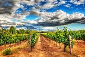 Grape fields landscape, winery garden with blue sky, beautiful agricultural scene on harvest season, poster