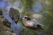 American Wigeon Ducks poster