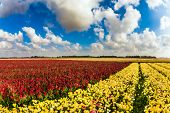 Field of flowers. A huge field of bright flowering garden buttercups- ranunculus. Spring in Israel.  poster