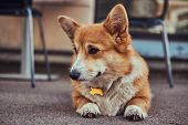 Funny Cute Breed Welsh Corgi, Lying On The Asphalt Near A Cafe, Waiting For Its Owner. poster