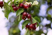 Red Apples Tree Branch. Fresh Organic Apples Tree Branch In The Orchard. Harvest Season Concept With poster
