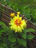 Yellow Dahlia Garden. Beautiful Yellow Blooming Dahlia On Green Background. Yellow Dahlia Genus Of S poster
