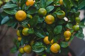 Calamondin Is Called By Many Names, Including: Calamonding, Calamondin Orange, Calamansi, Calamandar poster
