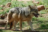 Mexican Grey Wolf Full Body Shot A Mexican Grey Wolf Walking With Mouth Open poster