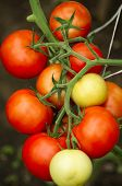 Ripe Natural Tomatoes Growing On A Branch. Growing Tomatoes In The Garden. Tomato Plant With Ripe Fr poster