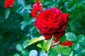 Floral Background With Red Rose Flower, Close Up. Rose Flower, Close Up Of Beautiful Rose Flower In  poster