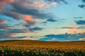Sunflower Field With Cloudy Blue Sky. Field Of Blooming Sunflowers On Sunset Background. Panoramic V poster