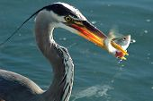 foto of food chain  - A Blue Heron on the shore of the ocean catching his fish dinner