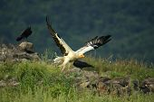 Flying Egyptian Vulture (neophron Percnopterus) Over The Rocks With Green Background. Egyptian Vultu poster