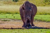 Artistic Photo Of A, Endangered Male Bull White Rhinoceros In A Nature Reserve In Johannesburg South poster