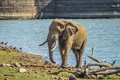 An Isolated Single Lone African Elephant In Musth Walking In A Nature Reserve poster