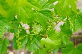 Grape Flower Buds, Baby Grapes, Small Berries. Close-up Of Flowering Grape Vines, Grapes Bloom In Sp poster