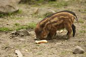 The Wild Boars (sus Scrofa) Baby Feeding On Dry Sand, Close To The Forest. Wild Boars Eating The Bre poster