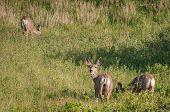 picture of black tail deer  - Three Mule Deer  - JPG
