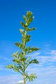 stock photo of sagebrush  - Young green sagebrush plant against the background of blue sky at early summer - JPG
