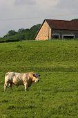 stock photo of charolais  - Bull in the fields of Morvan National Park hills - JPG