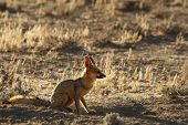 Cape Fox (vulpes Chama) Sitting On The Sand In Kalahari Desert. Cape Fox In Evening Sun With Dry Yel poster