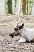 picture of rudolf  - Closeup of reindeer profile showing detail of head and antlers - JPG