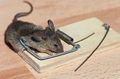 foto of dead mouse  - Dead field mouse in a mousetrap close - JPG