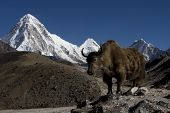 image of sherpa  - Yak with mountains in the background in the Himalayas - JPG
