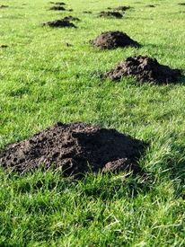 image of pest control  - Molehills in grass - JPG
