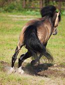stock photo of buckskin  - Jumping buckskin welsh pony - JPG