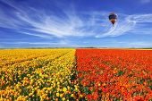 picture of buttercup  - The huge field of red and orange buttercups  - JPG