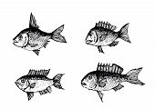 pic of loach  - an images of  hand drawn fish Vector illustration - JPG