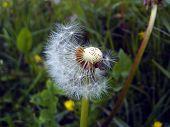 pic of dandelion seed  - close - JPG