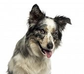 Close-up of a Border collie panting, with provocative look, isolated on white