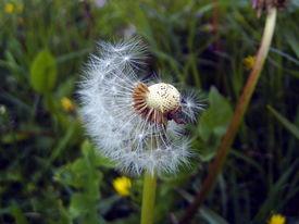 image of dandelion seed  - close - JPG