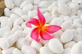 Red frangipani on white pebbles background