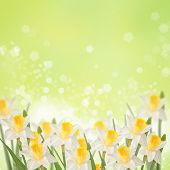 Postcard With Fresh Daffodils  And Place For Your Text